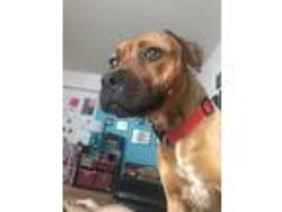 Adopt Jewel a Boxer / Terrier (Unknown Type, Medium) / Mixed dog in Brookeville