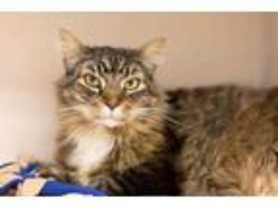 Adopt Lenny a Brown or Chocolate Maine Coon / Domestic Shorthair / Mixed cat in