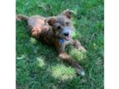 Adopt Rufus a Terrier, Mixed Breed
