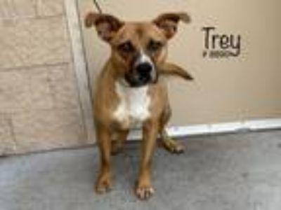 Adopt Trey a Brown/Chocolate Boxer / Labrador Retriever dog in Alvin