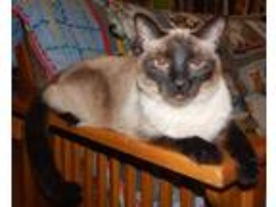 Adopt WINNIE - SEAL-POINT SWEETHEART a Gray or Blue Siamese (short coat) cat in
