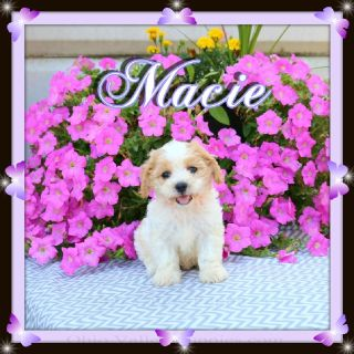 Cavachons Litter of 4/ 3 males & 1 Female text or Call 330-826-1882