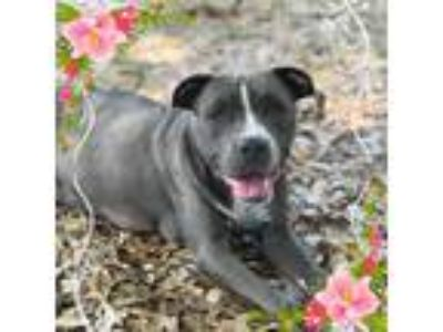 Adopt Serena a Gray/Silver/Salt & Pepper - with White Pit Bull Terrier / Mixed