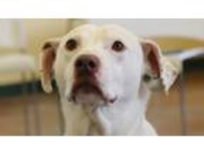 Adopt Oro a White Labrador Retriever / Pointer / Mixed dog in Independence
