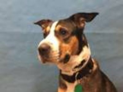 Adopt Kirby a Shar-Pei, Cattle Dog