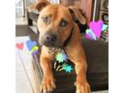 Adopt Diamond a American Staffordshire Terrier / Mixed dog in San Juan