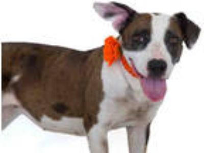 Adopt RILEY a Merle Catahoula Leopard Dog / Mixed dog in St.