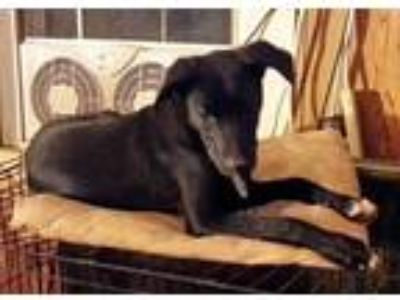 Adopt Stuey a Black - with White Labrador Retriever / Coonhound / Mixed dog in