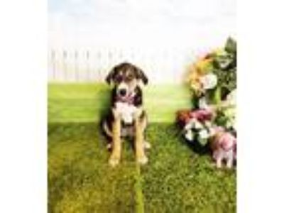 Adopt Mona a Tricolor (Tan/Brown & Black & White) Labrador Retriever / Mixed dog