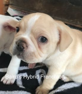 French Bulldog-Faux Frenchbo Bulldog Mix PUPPY FOR SALE ADN-73021 - Frenchton
