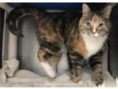 Adopt NALA a Calico or Dilute Calico Domestic Shorthair / Mixed (short coat) cat