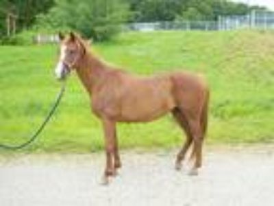 Adopt FERN a Chestnut/Sorrel Quarterhorse / Mixed horse in Union, MO (24131989)