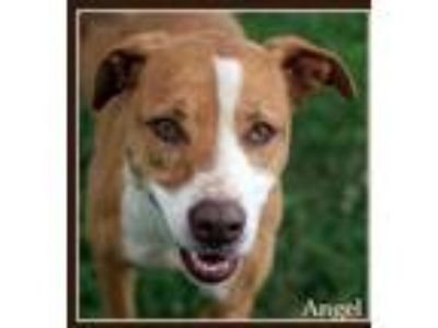 Adopt Angel a White American Pit Bull Terrier / Mixed dog in Sullivan