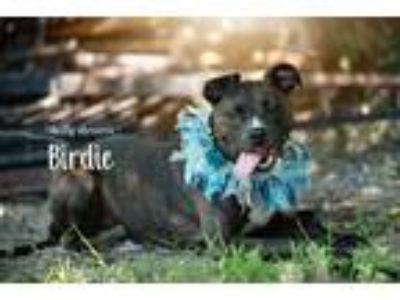 Adopt BIRDIE a Brindle - with White American Pit Bull Terrier / Boston Terrier /