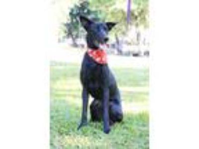 Adopt Annie a Black Labrador Retriever / Shepherd (Unknown Type) / Mixed dog in