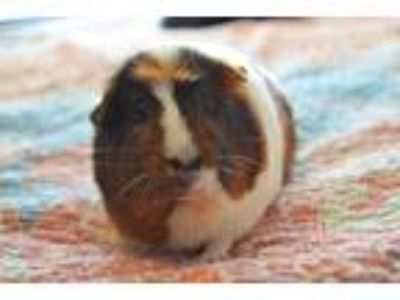 Adopt Brie and Nicky a Guinea Pig small animal in Brooklyn, NY (23974300)