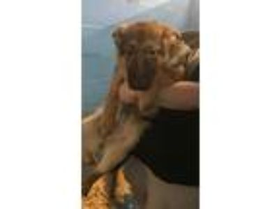 Adopt SCOTT a Brown/Chocolate - with Black German Shepherd Dog / Mixed dog in