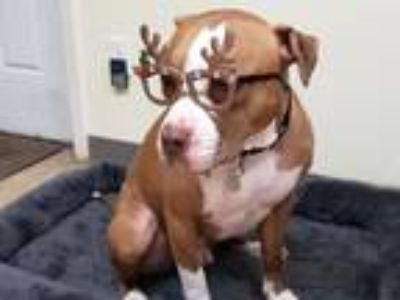 Adopt Jax a Red/Golden/Orange/Chestnut - with White Pit Bull Terrier / Mixed