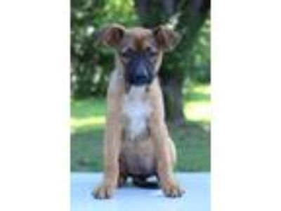 Adopt Ellen a Tricolor (Tan/Brown & Black & White) Shepherd (Unknown Type) /