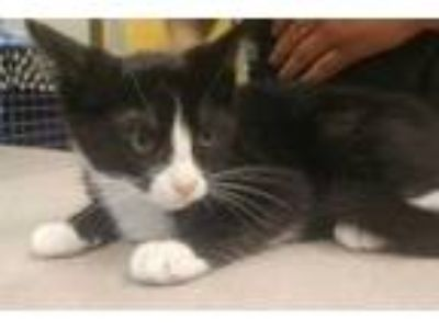 Adopt Mildred a All Black Domestic Shorthair / Domestic Shorthair / Mixed (short