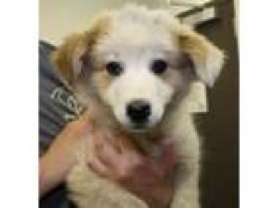 Adopt Carlotta a Tan/Yellow/Fawn Great Pyrenees / Border Collie / Mixed dog in