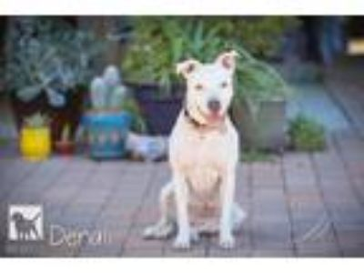 Adopt Denali - Foster Needed *DEAF* a White Retriever (Unknown Type) / Pit Bull