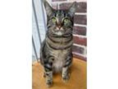Adopt Chloe a Tiger Striped American Shorthair / Mixed cat in Grand Prairie