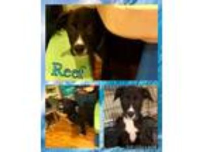 Adopt Reef a Black - with White Shepherd (Unknown Type) / Labrador Retriever /