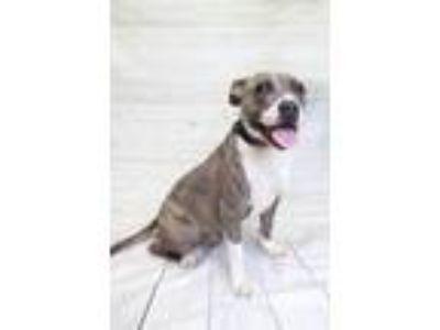 Adopt Stella a Pit Bull Terrier