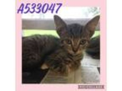 Adopt 1-4 a Gray or Blue Domestic Shorthair / Mixed (short coat) cat in San
