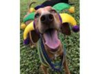 Adopt Judy Blue Eyes a Catahoula Leopard Dog, Redbone Coonhound