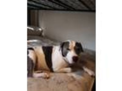 Adopt Brick a White - with Black American Pit Bull Terrier / American Pit Bull