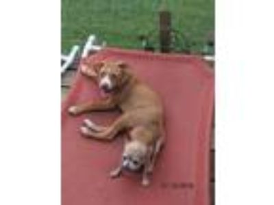 Adopt TITUS a Tan/Yellow/Fawn - with White American Pit Bull Terrier / Beagle /