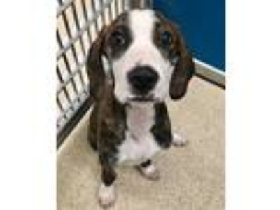 Adopt 42007866 a Brindle Hound (Unknown Type) / Catahoula Leopard Dog / Mixed