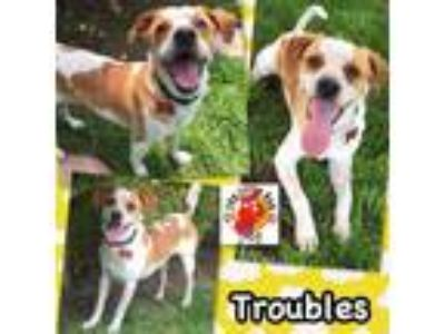 Adopt Troubles a Jack Russell Terrier / Cattle Dog / Mixed dog in Lake Forest