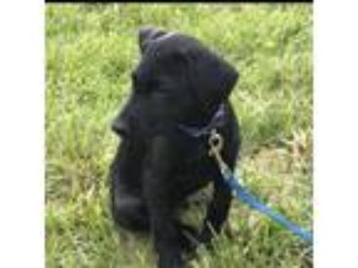 Adopt Magee KL in MS - Mona's puppy a Labrador Retriever