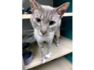 Adopt Sesame a Brown or Chocolate Siamese / Domestic Shorthair / Mixed cat in