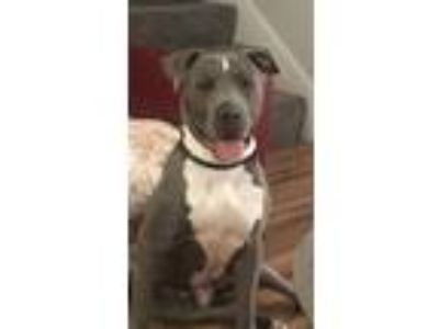 Adopt Winston a Gray/Blue/Silver/Salt & Pepper American Pit Bull Terrier dog in