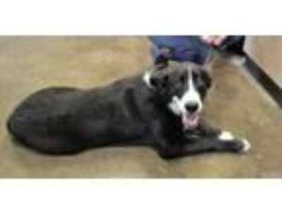 Adopt Bingo a Border Collie