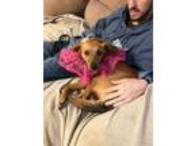 Adopt LIZ a Yellow Labrador Retriever