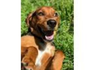 Adopt Arizona a Beagle, Labrador Retriever