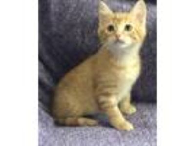 Adopt PEEP - BONDED WITH JELLYBEAN! a Domestic Short Hair