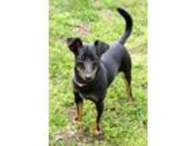 Adopt Alpine a Black - with Tan, Yellow or Fawn Rat Terrier / Mixed dog in Fort