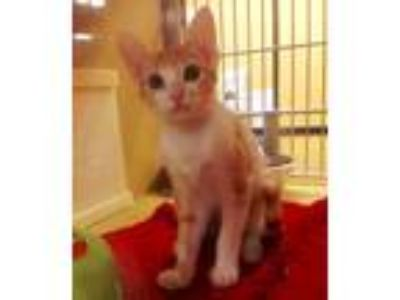 Adopt Cream Puff a Orange or Red (Mostly) Domestic Shorthair (short coat) cat in