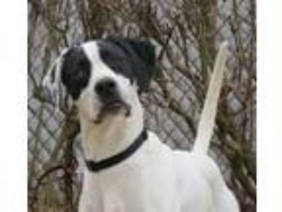 Adopt Willson a White - with Black English Pointer / Pointer / Mixed dog in Wood
