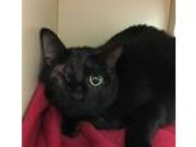 Adopt AUGUST a All Black Domestic Shorthair / Mixed (short coat) cat in Dedham