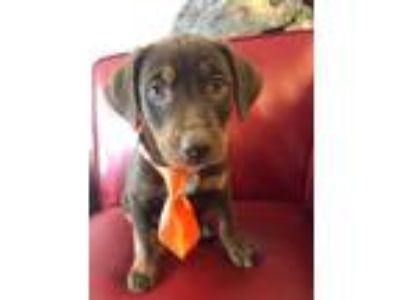 Adopt Chandler a Rat Terrier / Plott Hound / Mixed dog in Little Rock