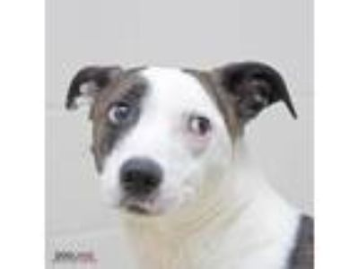 Adopt Bella Anne a White American Pit Bull Terrier / Mixed dog in Noblesville