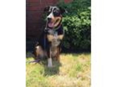 Adopt Cowboy a Tricolor (Tan/Brown & Black & White) Cattle Dog / Mixed dog in