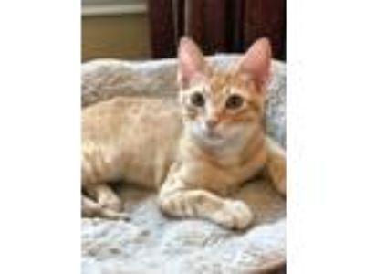 "Adopt Biscuit "" Kitten Orange Target Tabby "" a Tabby, Domestic Short Hair"